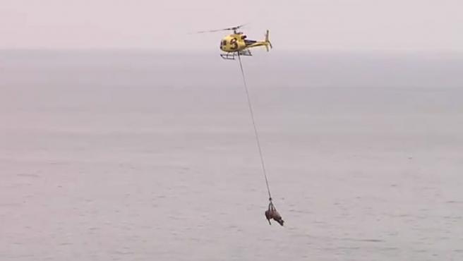 Su nombre es Bolero y pesa casi 100 kilos.  Cayó por la pendiente durante más de 200 metros hasta que quedó atrapado en la playa de Carnera.  Su propietario notificó a los equipos de rescate y hubo un primer intento fallido.  El granjero dijo que el animal pesaba 800 kilogramos, pero en realidad pesaba más y requería demasiada energía del helicóptero.  Después de que se abortó el primer intento, el helicóptero regresó al día siguiente, con menos combustible en stock y un arnés más apropiado.  Era necesario calmar el cadáver y volar bajo, para evitar los riesgos.  Ubicado en un prado cercano a una altura más baja que donde cayó, Bolero fue devuelto a tierra firme.  Apenas sufre algunos rasguños en uno de sus cascos.  Es un animal imponente pero noble, que ha regresado a los pastos en los que vive.