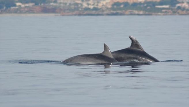Liberan a dos delfines mulares en la almadraba de La Azohia (Cartagena).