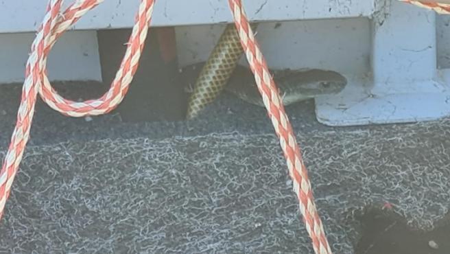 La serpiente se escondió en el bote.