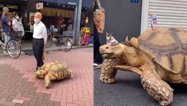 Su dueño pasea a la tortuga todos los días.