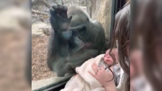 Kiki, la mamá gorila que se queda embelesada con un bebé humano.