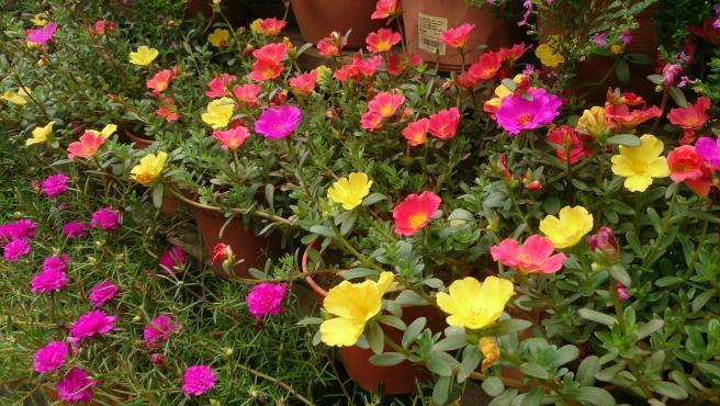 Portulaca oleracea en flor.