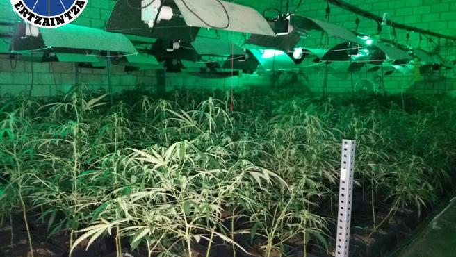 Un detenido y un investigado por ocultar una plantación de marihuna en Sondika, con cerca de 3.000 plantas