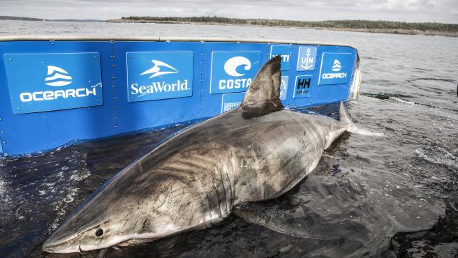Ocearch es una asociación que lleva un rastreo de los tiburones para acelerar el retorno al equilibrio.
