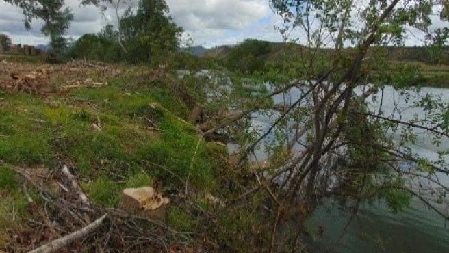 Amigos de la Tierra de La Rioja lamenta una tala de chopos en Cenicero, en la ribera del río Ebro