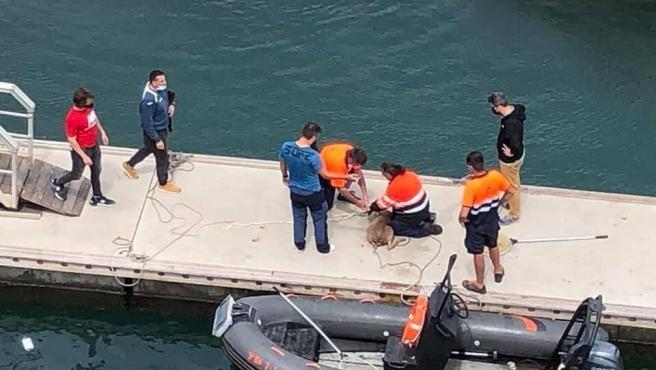 Rescate del corzo que apareció en la desembocadura del río Besòs en el Port Fòrum de Sant Adrià.