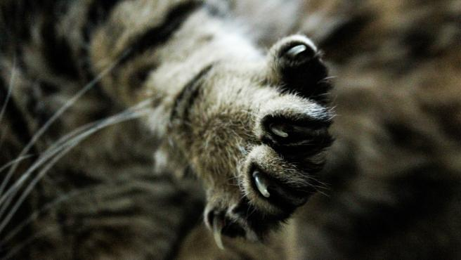 Un gato enseña las uñas.