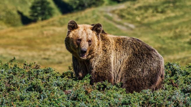 """El alcalde de Cangas del Narcea, José Víctor Rodríguez, ha señalado este lunes el peligro que supone que los osos se acerquen cada vez más a zonas pobladas. """"Se están humanizando y eso supone un riesgo de seguridad"""", ha comentado Rodríguez en unas declaraciones recogidas por Europa Press."""