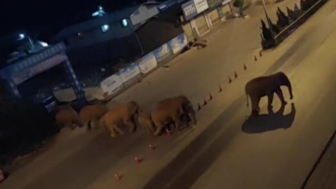 El curioso viaje de una manada de 15 elefantes asiáticos que lleva un año vagando por China ha generado una gran expectación entre las autoridades y expertos del país, que tratan de averiguar qué motivo empujó a estos paquidermos a abandonar el año pasado su hábitat natural y recorrer unos 500 kilómetros en la provincia de Yunnan (suroeste).