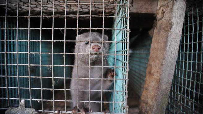 """WWF exige el cierre urgente del """"epicentro gallego las granjas de visón"""" tras detectarse un brote de SARS-CoV-2"""