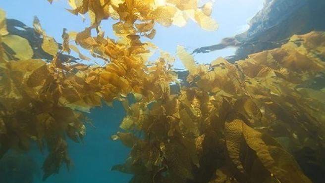 Bosques de algas marinas.
