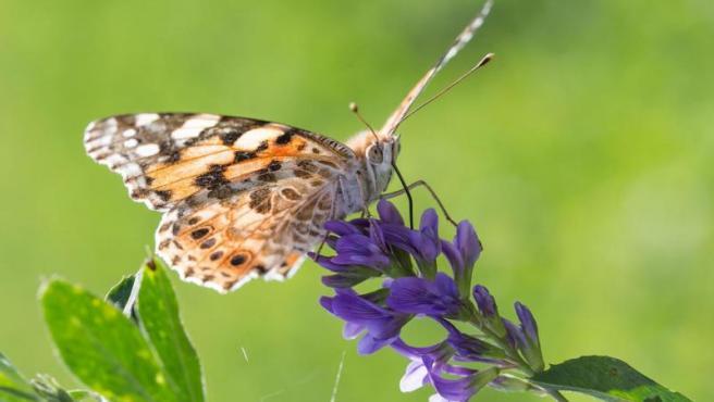 Una mariposa dama.