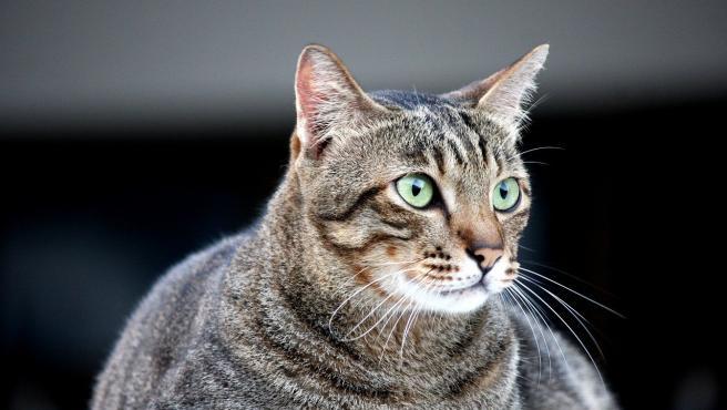 Según los últimos estudios el sobrepeso afecta ya a un 44% de los gatos.