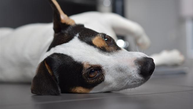 Imagen de archivo de un perro Jack Russell.
