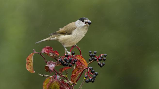 Un estudio muestra que las aves migratorias limitan la respuesta de las plantas frente al cambio climático