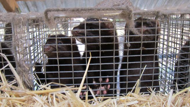 La Xunta detecta cuatro nuevos brotes en granjas de visones en Santiago, Abegondo y A Baña