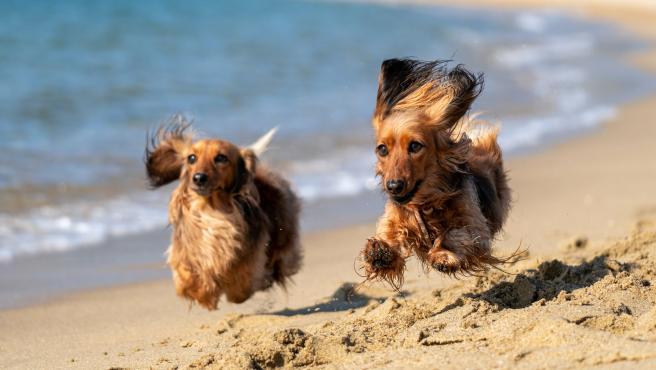 Perros en la playa.