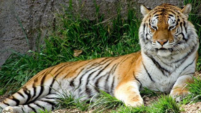 Tigre en el zoo de Oakland.