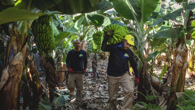 Recogida del Plátano de Canarias.