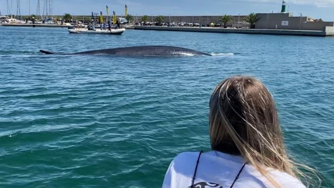 Consiguen devolver a mar abierto una ballena de 18 metros atrapada en el Real Club Náutico de València