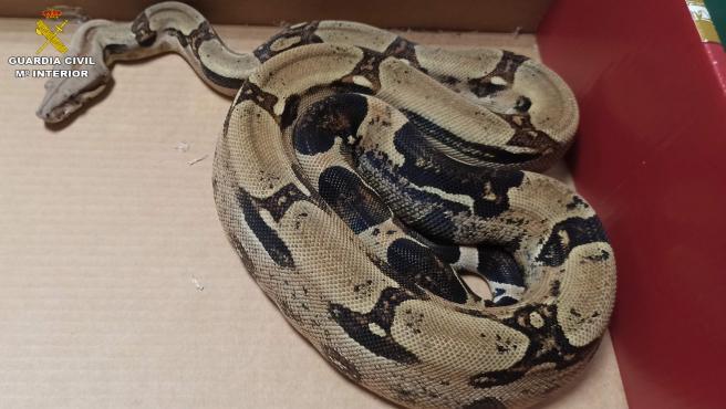 Sucesos.- Intervienen en Manises una serpiente boa por su venta ilegal a través de redes sociales