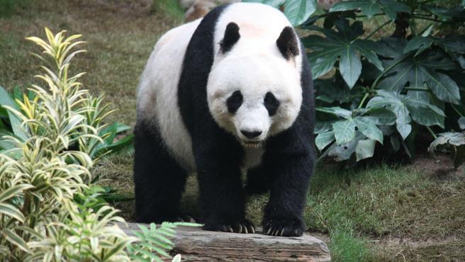 Imagen de un ejemplar de oso panda.