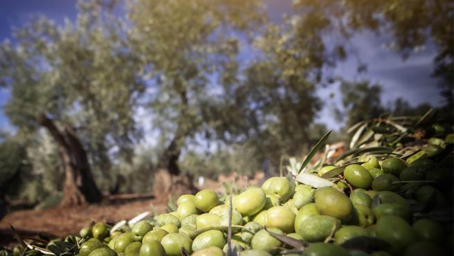Fincas de olivar situadas en las faldas del parque natural de Sierra de Andújar (Jaén).  Fincas de olivar situadas en las faldas del parque natural de Sierra de Andújar (Jaén).
