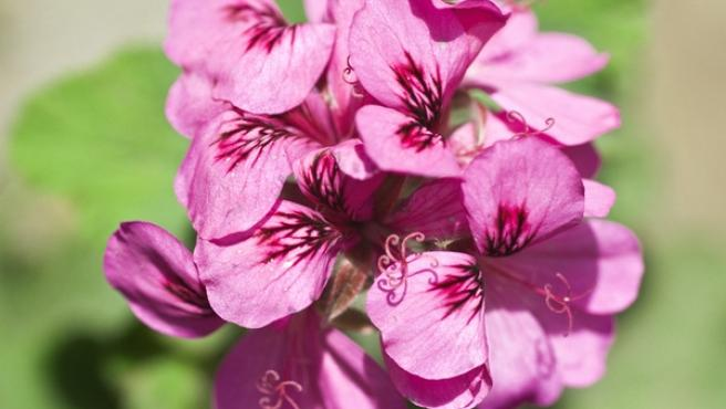 Imagen al detalle de la flor de un geranio.