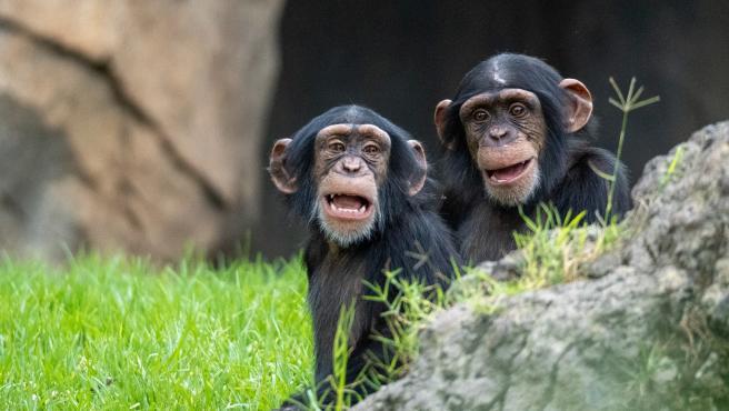Bioparc celebra el Día del Chimpancé con el tercer cumpleaños de Coco