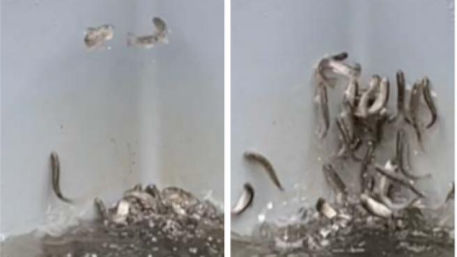 Captura de pantalla del vídeo en el que los salmones están intoxicados.