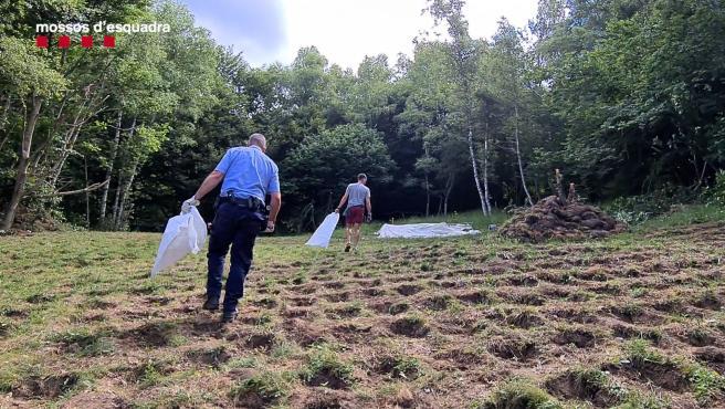 Desmantelan dos plantaciones con 5.335 plantas de marihuana en Pardines (Girona)