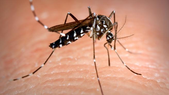 El mosquito tigre es una especie invasora en España que puede ser portadora de enfermedades.