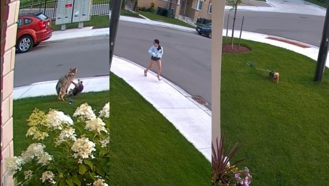Tres secuencias del vídeo en el que un yorkshire se enfrenta a un coyote para proteger a su dueña.