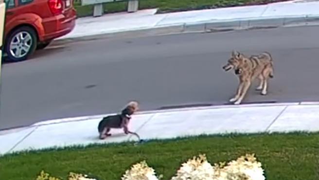 Un pequeño yorkshire salva a su dueña de diez años del ataque de un coyote furioso