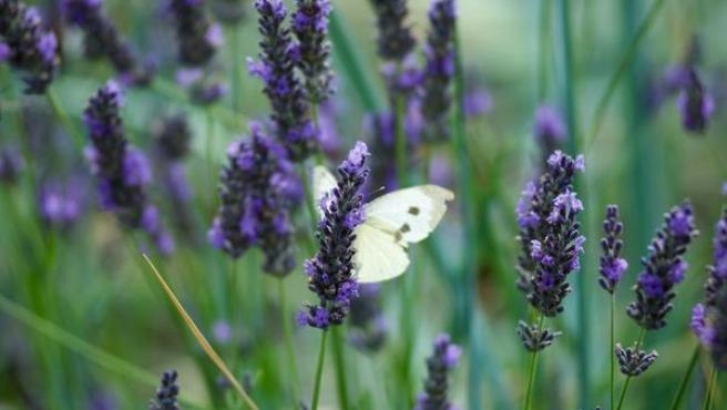 Imagen en detalle de una flor de lavanda.