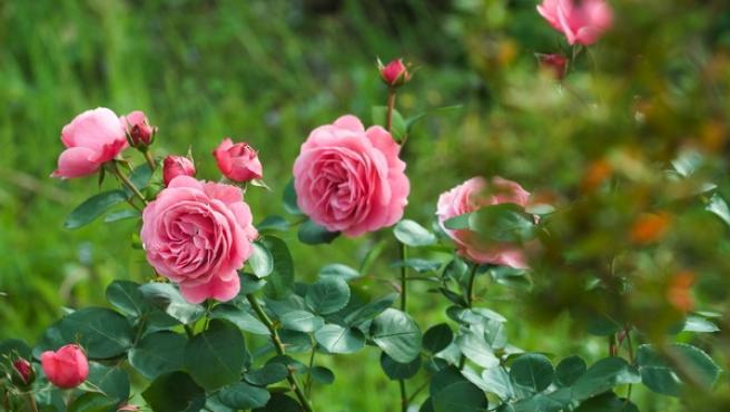 Imagen de un rosal cargado de flores en el jardín.