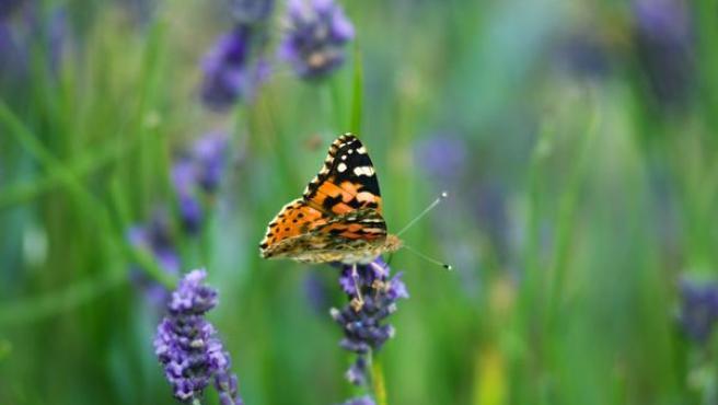 Imagen al detalle de una mariposa posada sobre la lavanda.