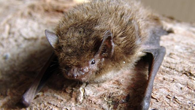 Un murciélago de la especia Pipistrellus nathusii en una imagen de archivo.