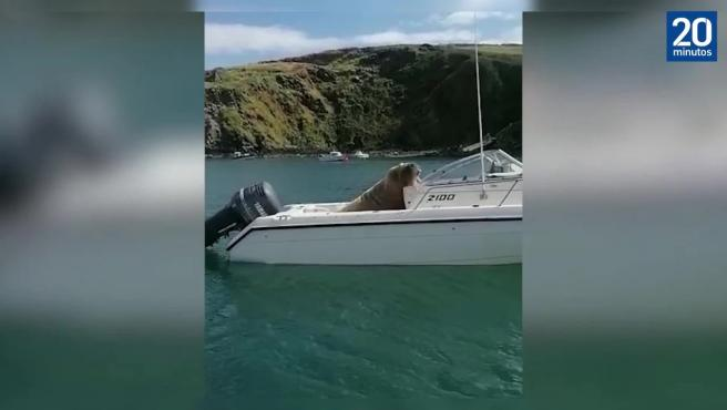 La morsa Wally reaparece 'conduciendo' un bote