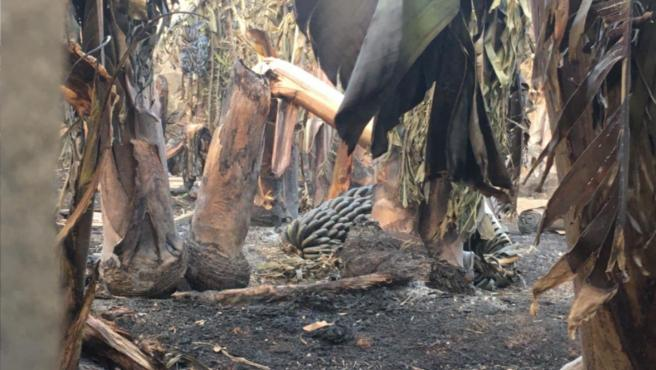 El incendio de La Palma deja al menos seis explotaciones agrícolas quemadas, según Asaga Canarias
