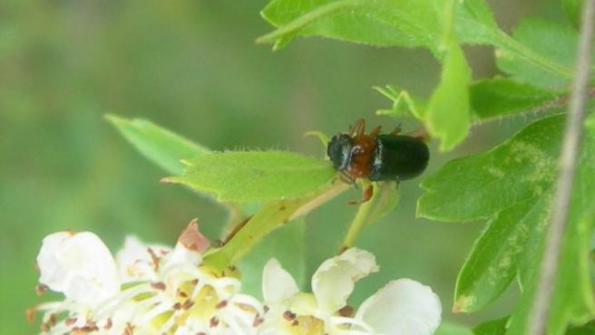 La especie endémica descubierta en Arganda del Rey.