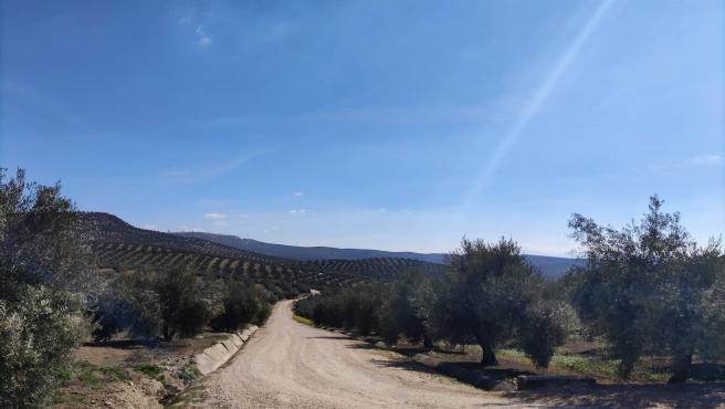 La última ola de calor pone en el punto de mira al olivar de secano por el déficit hídrico que arrastra