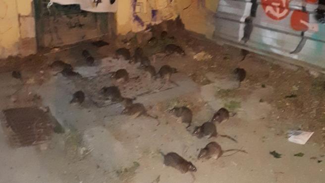 Rats à Barcelone