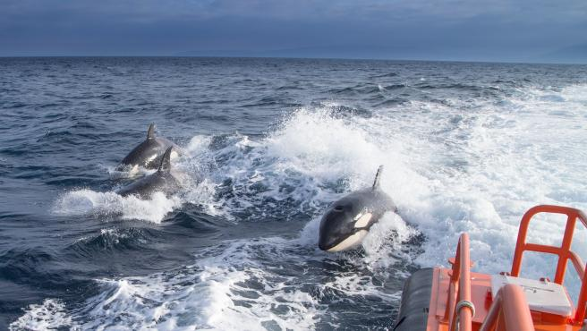 Salvamento Marítimo asiste a un velero que perdió el timón en Barbate tras un encontronazo con orcas