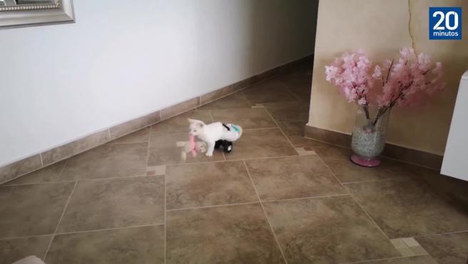 Ángel, el gato sin movilidad que puede caminar gracias a las ruedas de un coche de juguete
