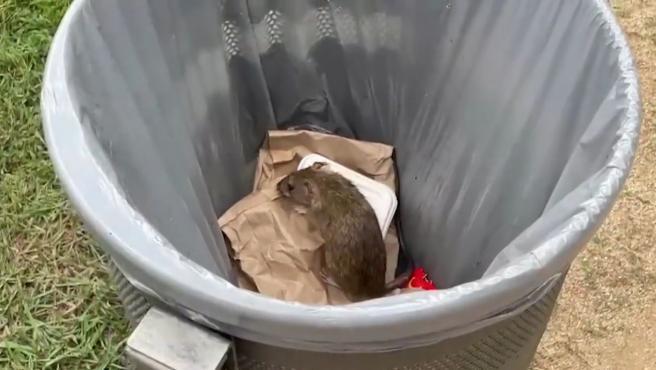 Un rat dans les Jardins de Pedralbes