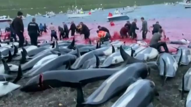 En el Atlántico Norte hemos asistido este martes a una auténtica masacre de delfines. 1.500 ejemplares han sido masacrados en una playa por los pescadores de las Islas Feroe. Se trata de una tradición que se remonta diez siglos atrás.