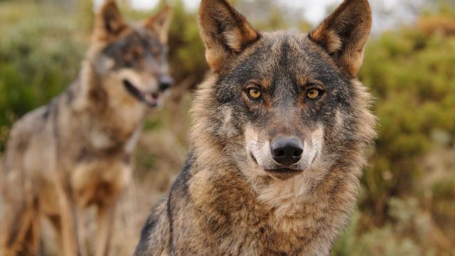 Ecologistas en Acción agradece la inclusión del lobo en el listado de especies protegidas