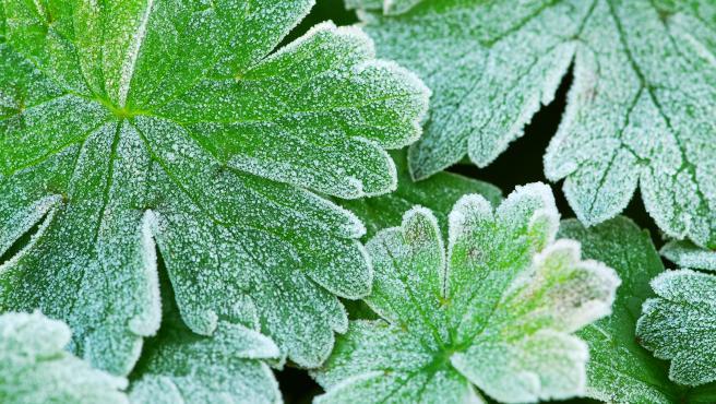 Las plantas sufren la consecuencia del frío.