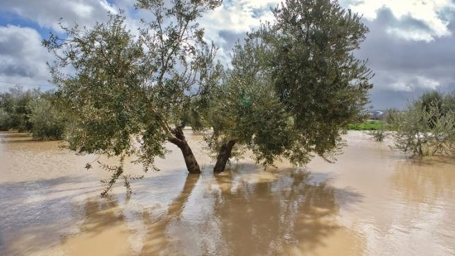 Cultivation of olive trees, flooded by heavy rains, disaster ecological change climate on the planet, Spain